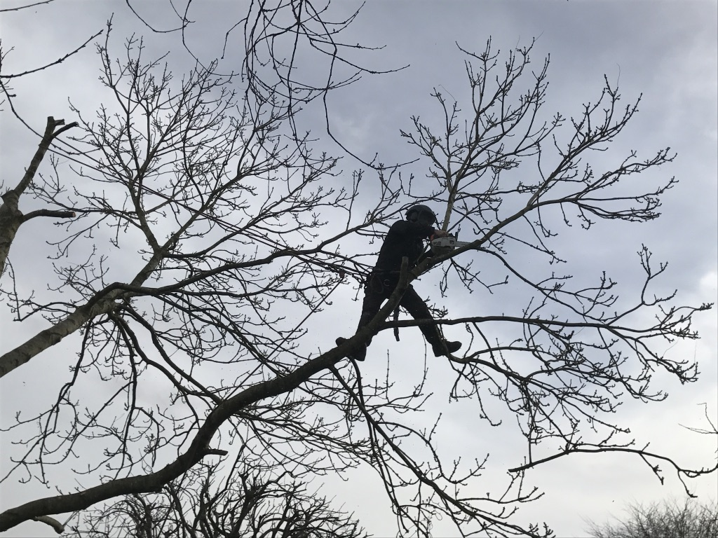 Ash Tree Removal