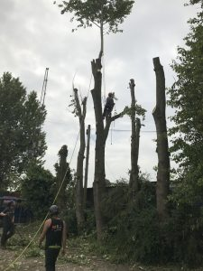Removing a Row of Poplar Trees