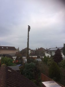 Spruce Tree Removal