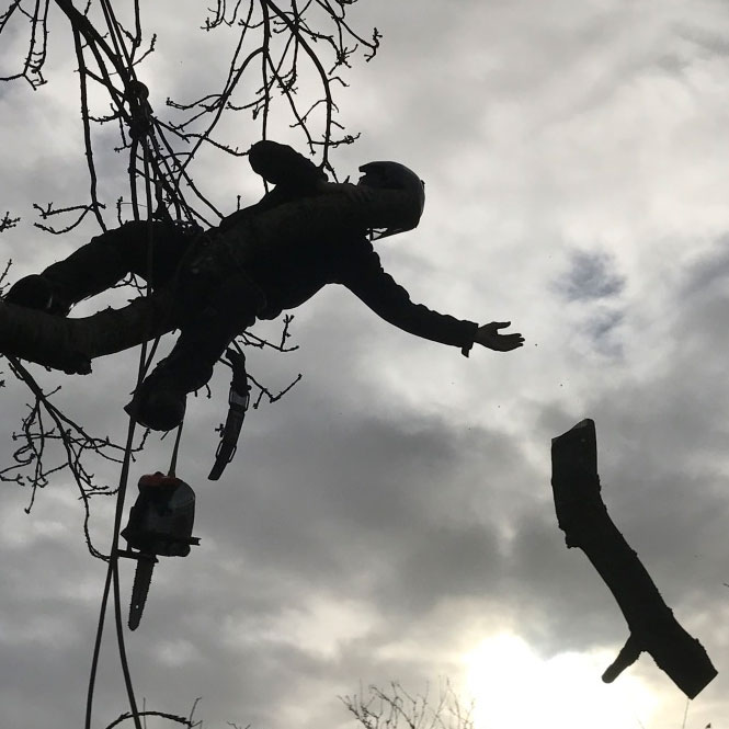 Ash Tree Removal