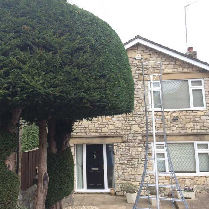 Hedge Trimming a Yew Tree