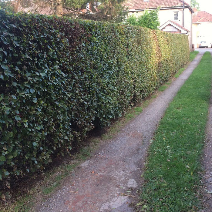 Beech Hedge after late Summer Trim