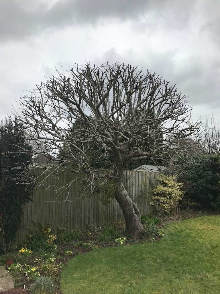 Apple Tree after Reduction